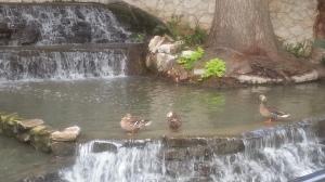 ducks 2 10.11.13