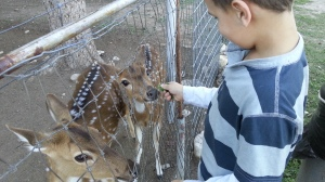 big feeding deer