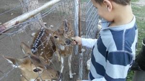 big feeding deer