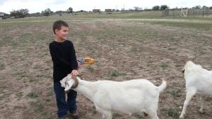 big feeding goat 11.10.13