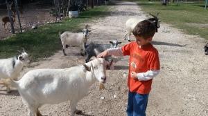 little pet goat again
