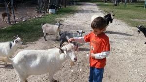 little pet goat